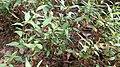 Laksa Leaf (Polygonum odoratum).jpg