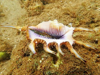 Strombidae - Scorpion conch (Lambis scorpius) in Mayotte. The eyes and operculum are visible.