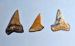 Isurus - Fossil teeth of I. hastalis