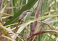 Lanius phoenicuroides, Vila de Sena, Birding Weto, b.jpg