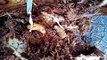 Larves morrut de les palmeres 2013-11-13 07-25.jpg