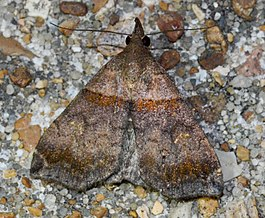 Lascoria ambigualis – Ambiguous Moth (Lula Field ID'd indirectly and Fyn pointed out the gender is female) (14260696527).jpg