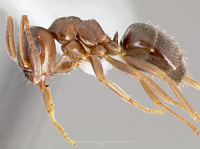 Description de l'image Lasius alienus casent0005401 profile 1.jpg.