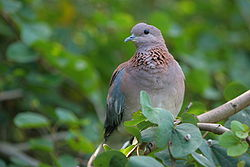Laughing Dove - sb616.JPG