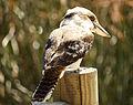 Laughing Kookaburra (Dacelo novaeguineae) -- Claremont Lake, Western Australia.jpg