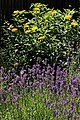 Lavendelbeet im Innenhof 06.jpg