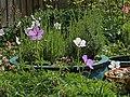 Lavender, Geraniums, Aquilegia (47855267562).jpg
