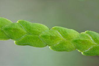 Lawson cypress shoot (31708217854) (2).jpg