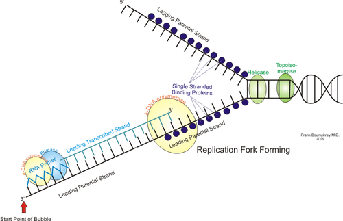 external image 500px-Leading_strand_replication.png