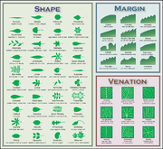 Chart illustrating leaf morphology terms. Click the image for the details.