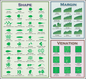 Chart of leaf morphology characteristics