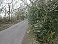 Leagreen, catkins - geograph.org.uk - 1752684.jpg