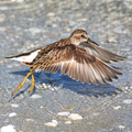Least Sandpiper (Calidris minutilla) - Sanibel Island, FL, USA 03.png