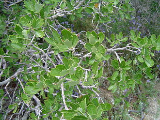 Quercus berberidifolia - Image: Leaves of California Scrub Oak