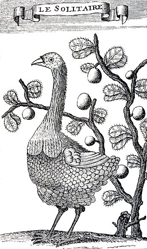 Rodrigues solitaire - Only known drawing by someone who observed the bird in life, François Leguat, 1708