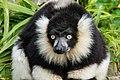 Lemur (26618718347).jpg