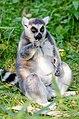 Lemur (31132254555).jpg