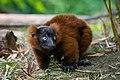 Lemur (36614957945).jpg