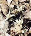 Leontopodium alpinum.jpg
