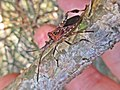 Leptoglossus occidentalis (Coreidae) (Western conifer seed bug (WCSB)) - (imago), Molenhoek, the Netherlands - 3.jpg