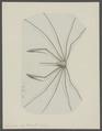 Leptopodia sagittaria - - Print - Iconographia Zoologica - Special Collections University of Amsterdam - UBAINV0274 095 18 0003.tif
