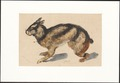 Lepus netscheri - 1884 - Print - Iconographia Zoologica - Special Collections University of Amsterdam - UBA01 IZAA100274.tif