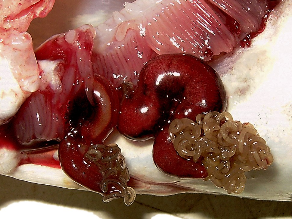 Lernaeocera branchialis