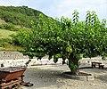 Les feuilles du mûrier servent à nourrir le vers à soie.jpg