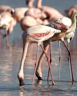 Soda lake - Lesser flamingos (Phoenicopterus minor) feeding on cyanobacteria in Lake Nakuru, Kenya