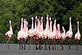 Lesser Flamingo Phoeniconaias minor Courtship Dance by Dr. Raju Kasambe DSCN0567 (19).jpg