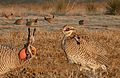 Lesser Prairie Chicken From The Crossley ID Guide Eastern Birds.jpg