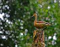Lesser whistling duck1.jpg