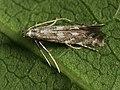 Leucospilapteryx omissella (40950332632).jpg