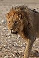 Lev v národním parku Etosha - Namibie - panoramio (2).jpg