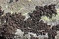 Lichen (29569425007).jpg
