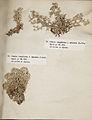 Lichenes Helvetici III IV 1842 016.jpg