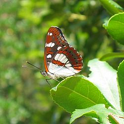 Limenitis reducta 02.jpg