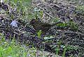 Lincoln's Sparrow (8002116634).jpg