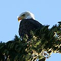 Lincoln Park eagle, a couple of days later (992824255).jpg