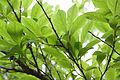 Lindera chienii - Feuillage et jeune fruit.jpg
