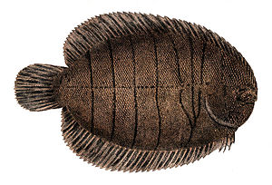 The American soles are a family of flatfish fo...