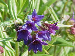 Description de l'image  Image:Lithospermum purpurocaeruleum0.jpg .