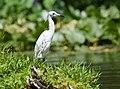 Little Blue Heron (juvenile) (34788789023).jpg