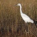 Little Egret (5484753623).jpg