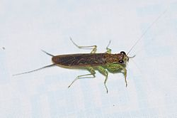 Little mantis Chaeteessa sp (9699847291).jpg
