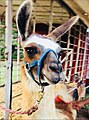 Llama at petting zoo that has a halter attached to a leash that is tethered to one of the metal poles of the livestock trailer.jpg