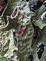 Lobaria macaronesica C. Cornejo & Scheid 407114.jpg