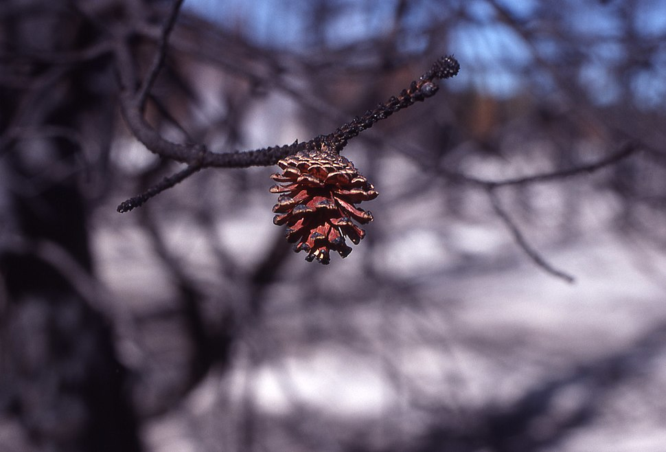 Lodgepole pine cone after fire