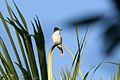 Loggerhead Kingbird 2495230263.jpg