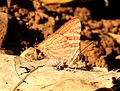 Long-banded Silverline Spindasis lohita UN by Dr. Raju Kasambe DSCN7863 (13).jpg